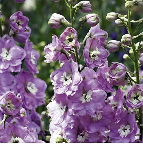 Delphinium Plants - David's Garden Seeds Flower Delphinium Magic Fountains Cherry Blossom SL (Plum) 50 Non-GMO, Open Pollinated Seeds