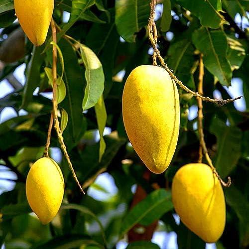 "Alphonso Mango Plạnt 7-8/""Height"