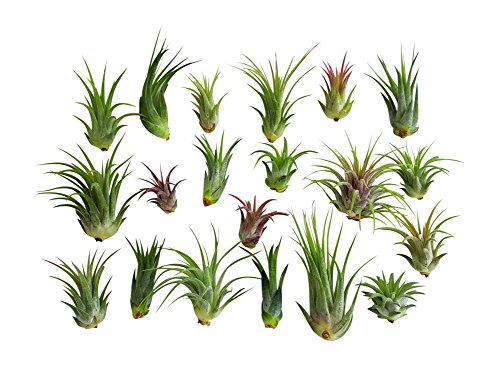 20 pc Air Plant Ionantha Tillandsia Lot/Wholesale Tillandsias/Bulk Airplants