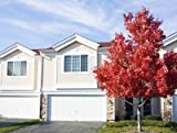 American Red Maple Tree - Large, Branched Maple Trees in Containers - Ready to Give Shade and Color