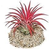 """Tillandsia ionantha """"Fire"""" - intensive rote Farbe"""