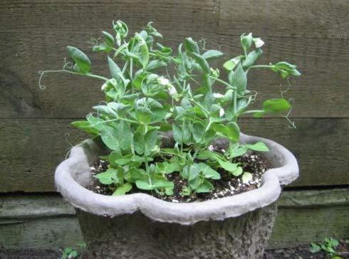 Fresh Dwarf Shelling Pea,Excellent for pots 6-8