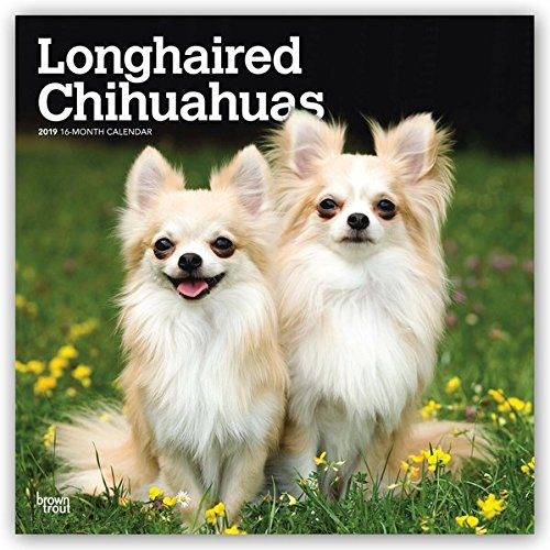Longhaired Chihuahuas 2019 12 x 12 Inch Monthly Square Wall Calendar, Animals Small Dog Breeds