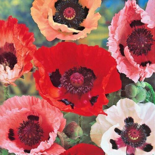 1000+Oriental Poppy Mix Flower Seeds Summer Blooms Perennial Garden/Containers