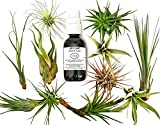 12 Pcs Tillandsia Air Plant Lot / Kit Includes 11 Plants and 1 Bottle of Organic Air Plant Fertilizer Food / Plus Gifting Box