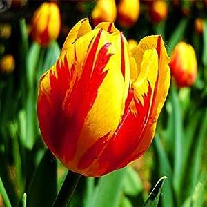 10pcs/semillas tulipán bolsa de semillas de flores bonsai Raras bellos tulipanes de colores mixtos en macetas huertos familiares perennes plantas tulipán 9