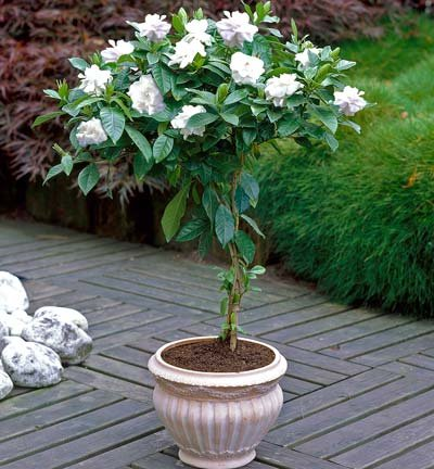 (Double Blooming Gardenia Tree - Large Trees, Ready to Bloom 1st Year! - 2-3 ft. | No Shipping to AZ)