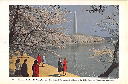 Part 000 Yield - Print Ad 1947 Cherry Blossoms Produce No Yield but Lure Hundreds of Thousands