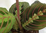 "Hirt's Red Prayer Plant - Maranta - Easy to Grow House Plant -4"" Pot- Live Plant"