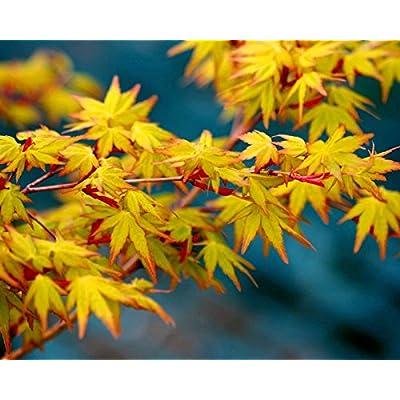 Katsura Hime Japanese Maple 3 - Year Graft : Garden & Outdoor