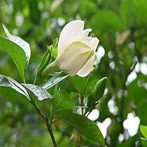 10pcs Gardenia Capo Jasmine fiore di gelsomino Gardenia Seed 51y5P%2BYYOUL. SS300