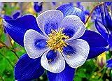 Best Flowers - Rare Aquilegia Blue Columbine Perennial Flower Seeds, Professional Review
