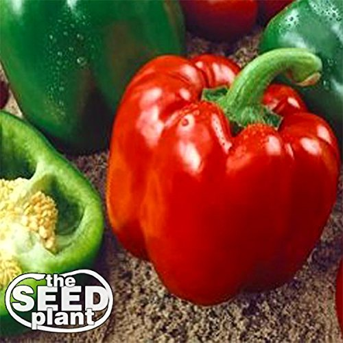 Keystone Peppers Seed (Keystone Resistant Sweet Bell Pepper Seeds 150 SEEDS NON-GMO)