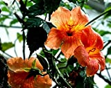 100 Seeds Campsis Grandiflora Chinese Trumpet Vine Garden Flowers Red Orange Yellow
