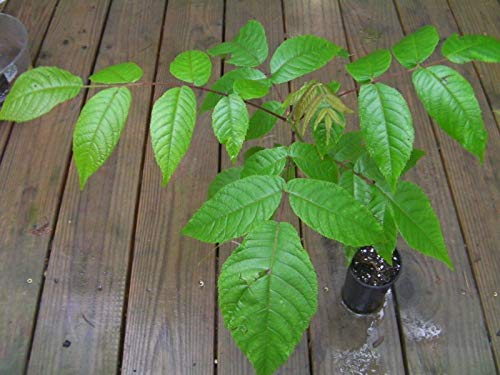 1 Black Walnut Tree, Juglans nigra, Live Plant in Pot (Growing A Black Walnut Tree From Seed)