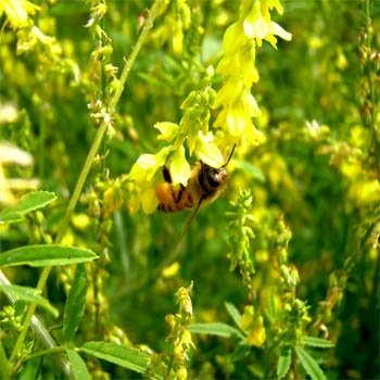 Outsidepride Yellow Sweet Clover Seed: Nitro-Coated, Inoculated - 10 LBS by Outsidepride