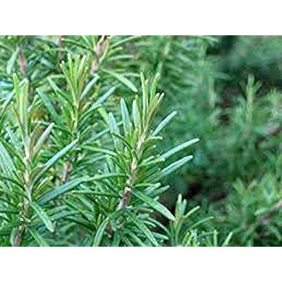 Risalana Rosemary Seeds, Rosemarinus Officinalis, Herb Seeds, Culinary Herb, Perennial Plant, Topiary Specimen, May be Grown in a Pot : Garden & Outdoor