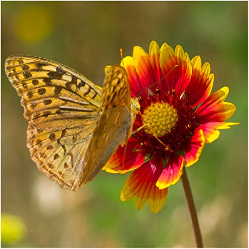 Gaillardia Blanket Flower (Package of 500 Seeds, Blanket Flower (Gaillardia aristata) Non-GMO Seeds By Seed Needs)