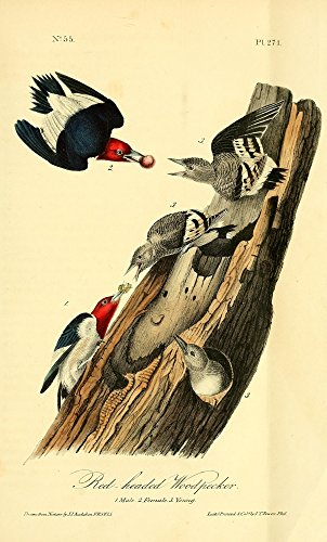 Posterazzi Birds of America 1844 Red-headed Woodpecker Poster Print by J.J. Audubon (18 x 24)