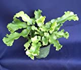 "ASPLENIUM SCOLOPENDRIUM 'CRISTATA' RARE CRESTED HART'S TONGUE, SHIPPED IN 4"" POT"