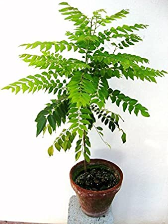 Pinkdose Herb Seeds Curry Leaf Plant Seeds Small Bush Seeds Plant Seeds For Garden Pack60 Seeds