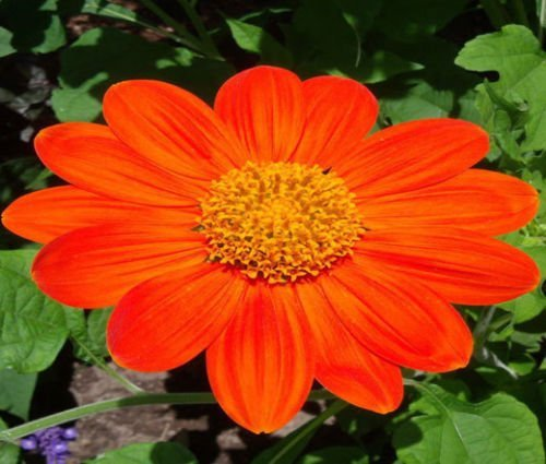 Torch Mexican Sunflower - SUNFLOWER MEXICAN TORCH Tithonia Rotundifolia - 200 Bulk Seeds