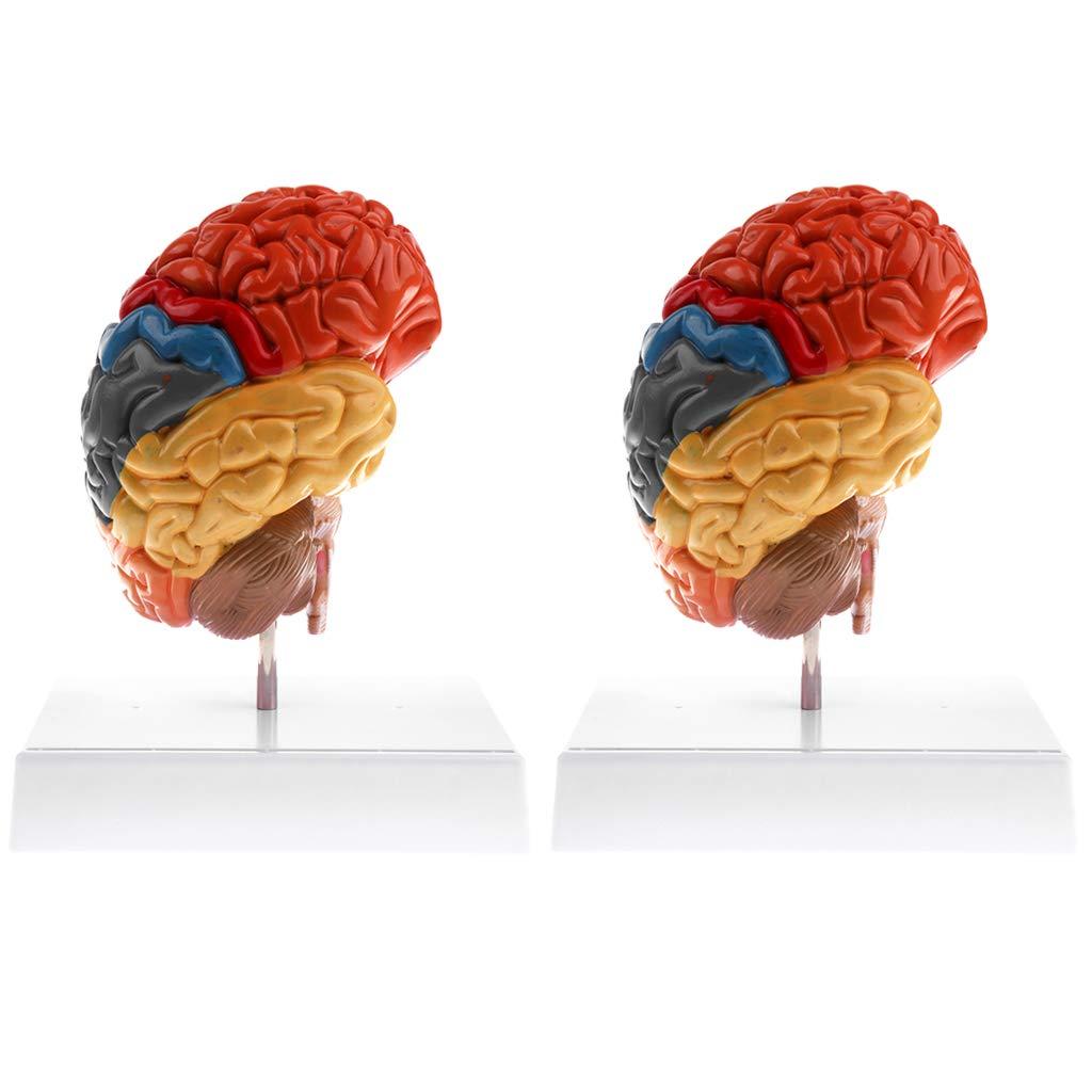 Fenteer Fenteer Fenteer 2pcs Anatomisches Lernwerkzeug - 1: 1 Halbabschnitt des Brainstem-Modells des menschlichen Gehirns Laborbedarf 8a3e41