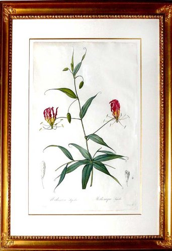 (Plate 26 - Methonica Superba (Superb Climbing Lily, Flame Lily))