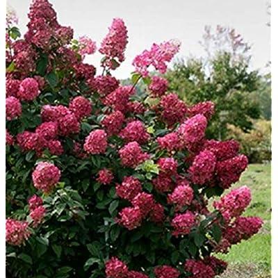 1 Quart Pot Fire Light Hydrangea Plant - NLR252 : Garden & Outdoor