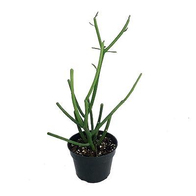 """Pencil Cactus - Euphorbia - Easy to Grow/Hard to Kill! - 4"""" Pot : Garden & Outdoor"""