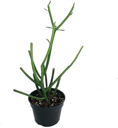 Amazon.com: Lápiz Cactus – Euphorbia – Fácil para crecer ...