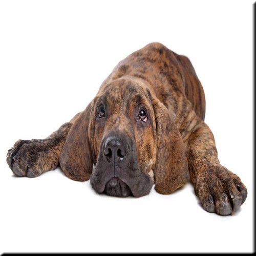 12 x 12 Rikki Knight Brazilian Mastiff Dog Design Ceramic Art Tile