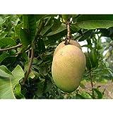 Mango Tree 36 Inch Height in 3 Gallon Pot #BS1