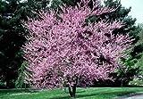 1 Redbud, Eastern 2-3' bareroot tree
