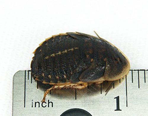 "3/4"" - 1"" Dubia Roaches (1000 Count)"