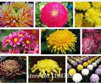 Raras semillas de flor de Oxalis versicolor bastón de caramelo, ., 100 semillas / pack, flores raras del mundo para el jardín de Plantas: Amazon.es: Jardín
