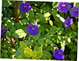 DAG 1 Bare Root Thunbergia Erecta Bush Clock Vine - RK410