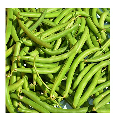 (Provider Bush Bean Heirloom Green snap Bean Seeds, Vegetable Seeds Non-GMO (1 lb))