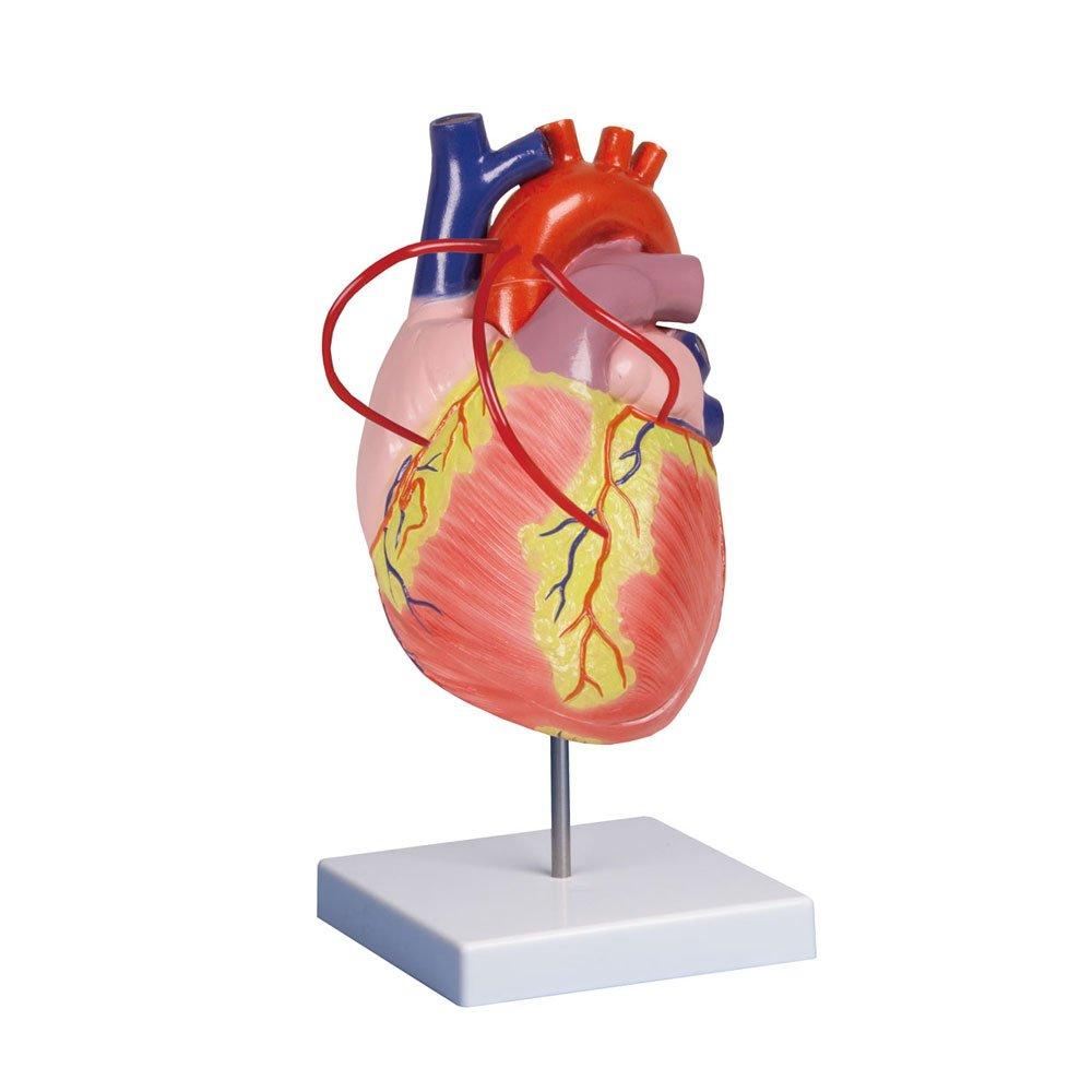 Herzmodell mit Bypass, Herz Anatomie Modell Lehrmodell, doppelte ...