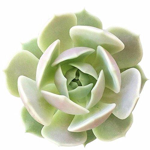 - Echeveria Lola Succulent plant gorgeous pale tones of lavender (2 inch)