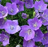 Tussock Bellflower 200 Fresh Seeds Campanula Carpatica