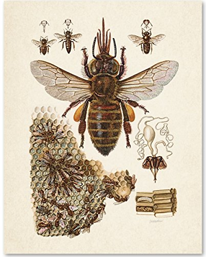 Bee Gift (Bee Diagram - 11x14 Unframed Art Print - Great Gift for Beekeepers)