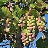 12 Seeds Coccoloba Uvifera Sea Grape/Bay Grape Plant