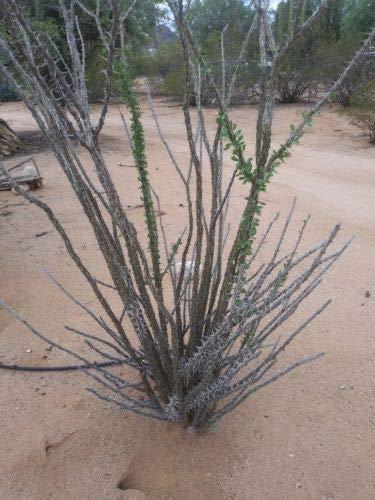 2 Ocotillo Desert PlantOrange Flowers Fouquiriea Splendens 12