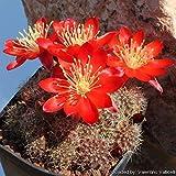 Casavidas Seeds Package: Aylostera Kupperiana 10+ Seeds. Lobivia Echinopsis Rebutia