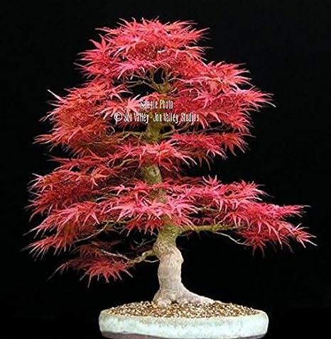 Acer Palmatum 10 Seeds Japanese Maple Lovely specimen or bonsai