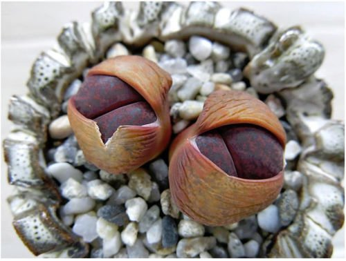Lithops lesliei Fred`s Redhead, Living Stone Rock Stone Cactus Seed 100 Seeds ()