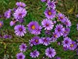 Aster- New England - 100 Seeds