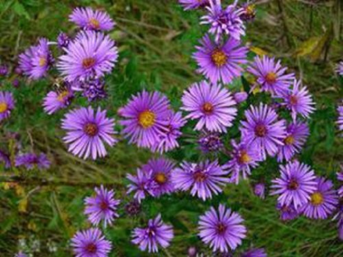 Aster- New England - 100 ()