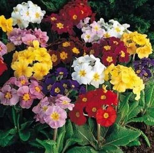 Go Garden Polyanthus  Crescendo Mixed  10 Seeds
